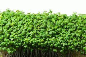 5 самых быстро зреющих растений для дачи