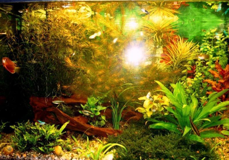 Альтернантера — виды и разновидности (фото)