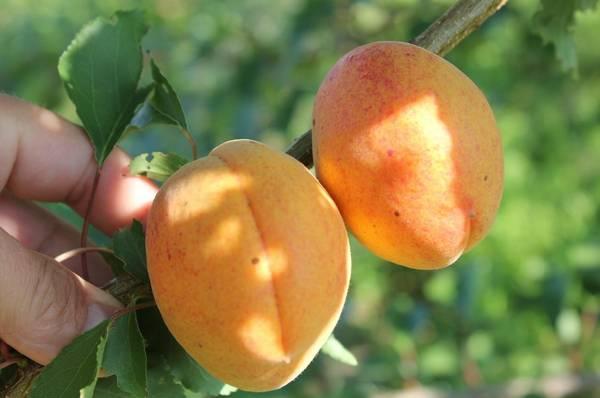 Ананасный абрикос - лучший среднеспелый сорт