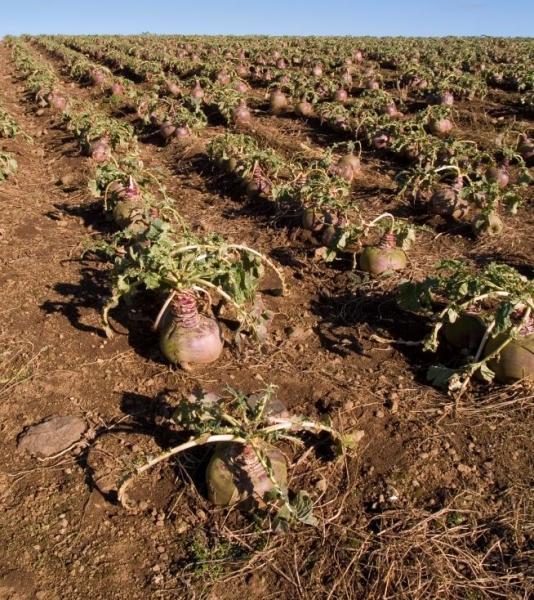 Брюква – выращивание, посадка, размножение и уход