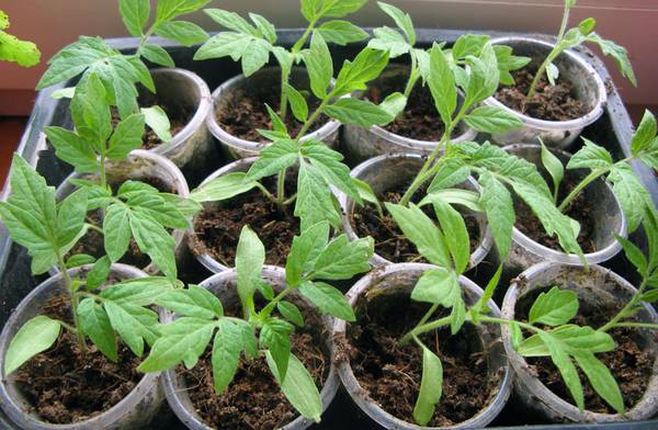 Чем и каким образом полить рассаду томатов, чтобы лучше росла