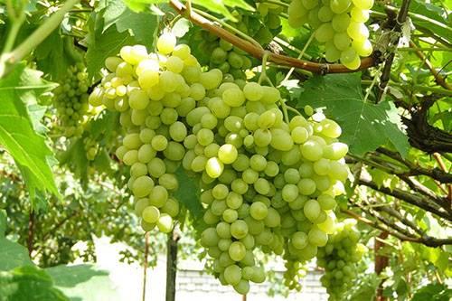 Фото и описание сортов винограда для посадки на дачном участке