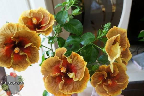 Гибискус  цветок смерти, почему так считают, народные приметы, кому верить