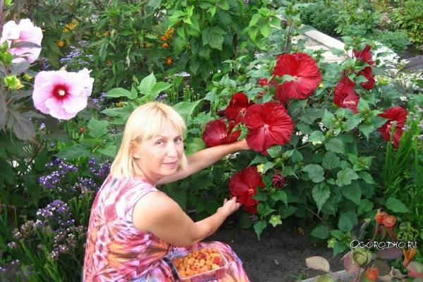 Гибискус садовый  уход и размножение семенами и черенками, сорта, зимовка, обрезка :фото