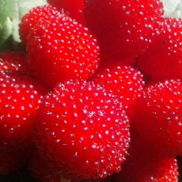 Гибрид малины и клубники — стоит ли их выращивать?