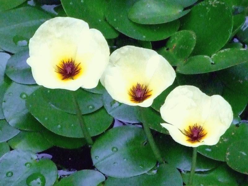 Гидроклейс — размножение, посадка и уход.