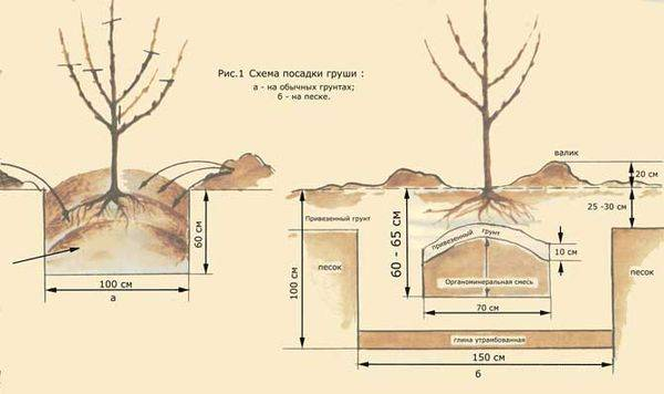 Характеристика летнего сорта груши Аллегро