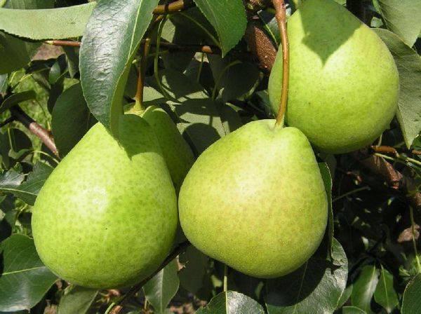 Характеристика плодов и груши летнего сорта Детская