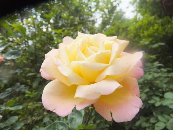 Характерные особенности английских роз