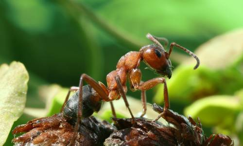 Как из теплицы вывести муравьев