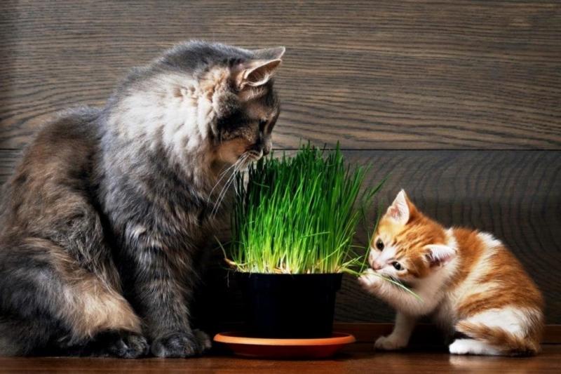 Как вырастить овес для кошек без земли и опилок
