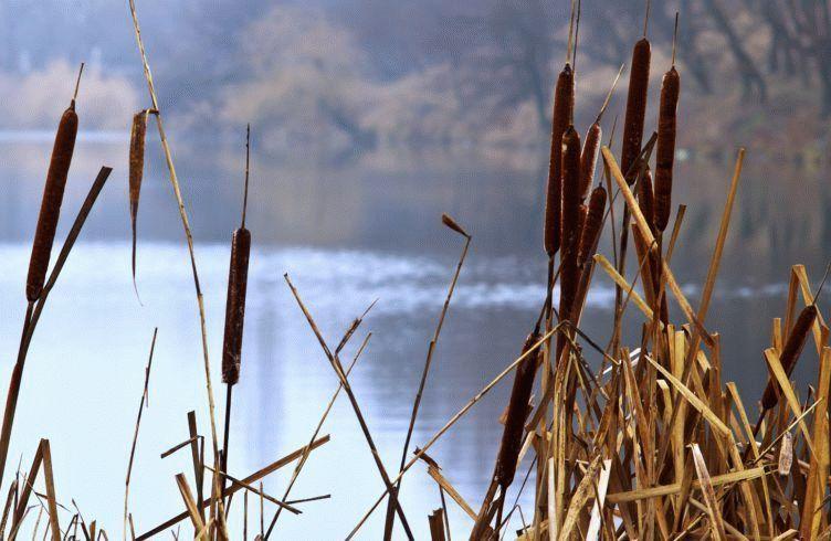 Камыш – размножение, посадка и уход