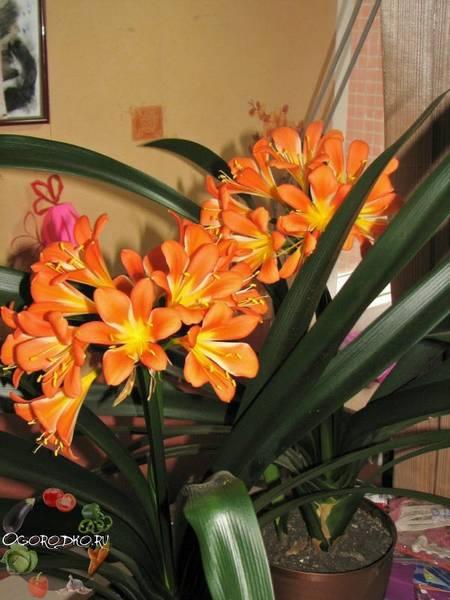 Кливия  уход в домашних условиях, как заставить цвести, пятна на растении