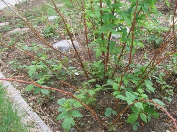 Когда и как правильно посадить малину осенью