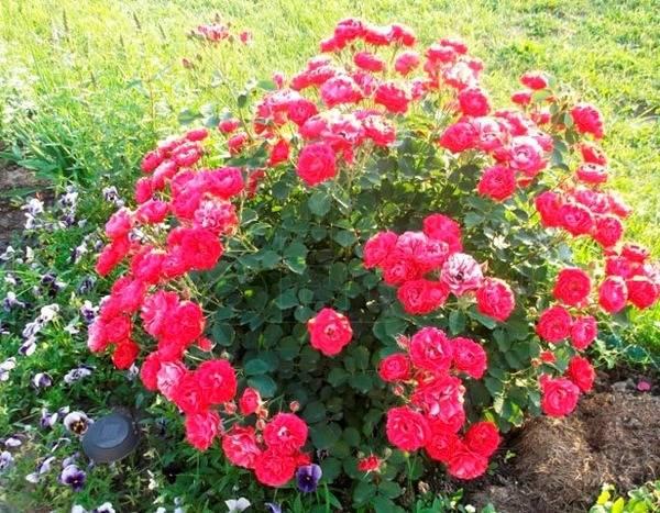 Когда и как укрывать розы на зиму на Урале