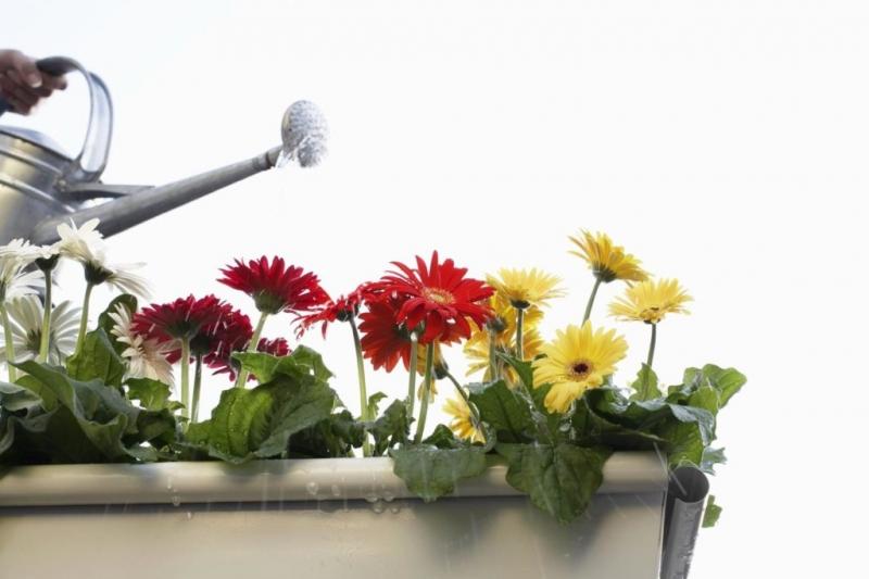 Комнатные хризантемы: как бороться с засыхающими бутонами