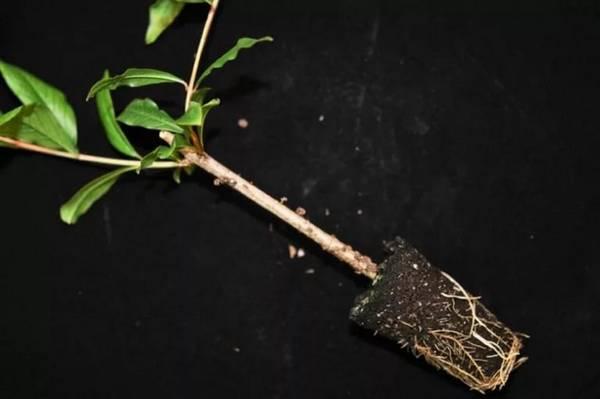 Комнатный гранат: как вырастить кладезь витаминов на подоконнике