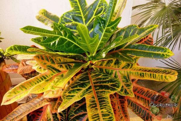 Кротон  уход в домашних условиях, формирование кроны, проблемы при выращивании