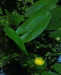 Кубышка — размножение, посадка и уход