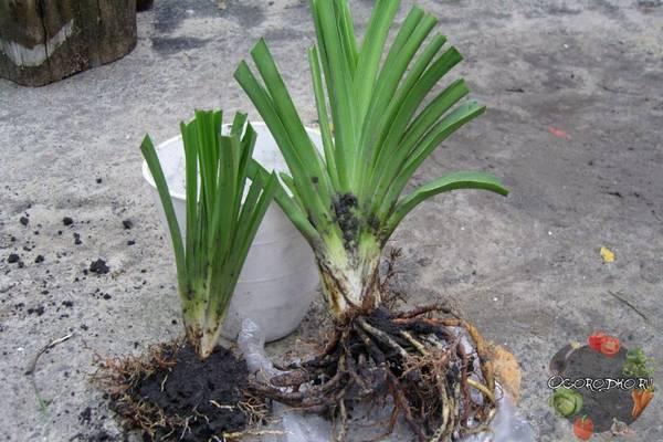 Лилейники, посадка и уход в открытом грунте, размножение, подкормка