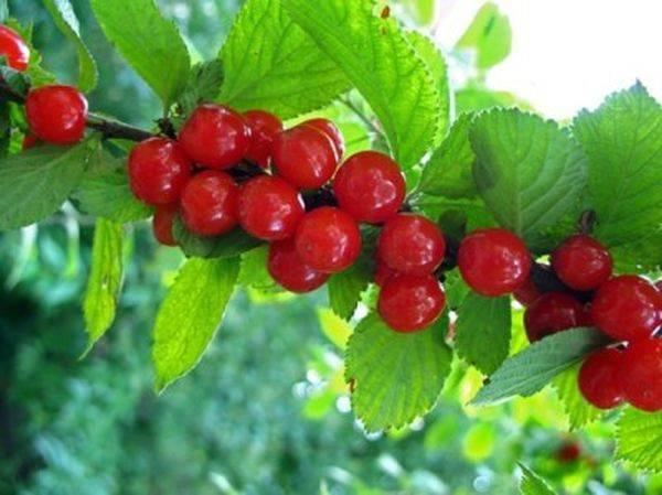 Лучшие сорта и особенности посадки кустовой вишни