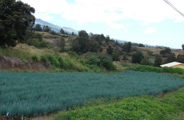 Лук алтайский — выращивание, посадка, размножение и уход