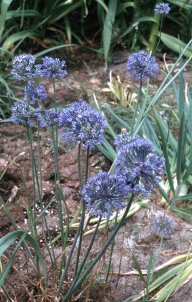 Лук голубой – выращивание, посадка, размножение и уход