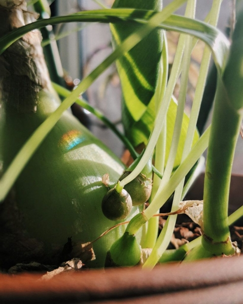 Лук китайский — выращивание, посадка, размножение и уход