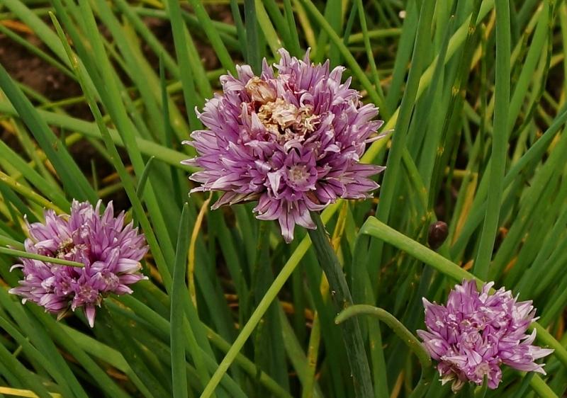 Лук склоненный: особенности выращивания и ухода