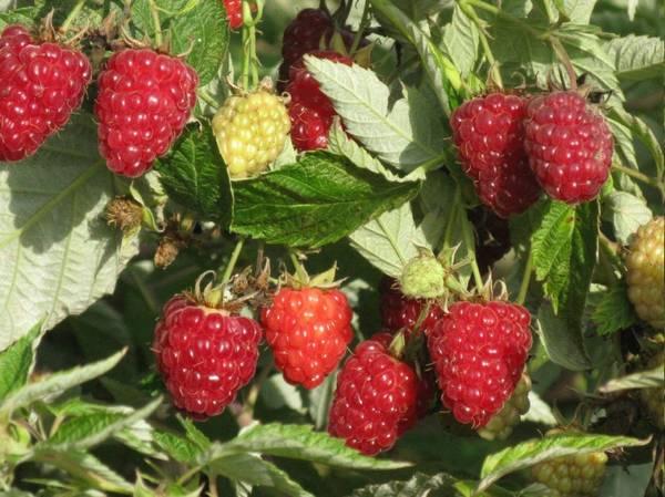 Малина Таруса — самый урожайный сорт