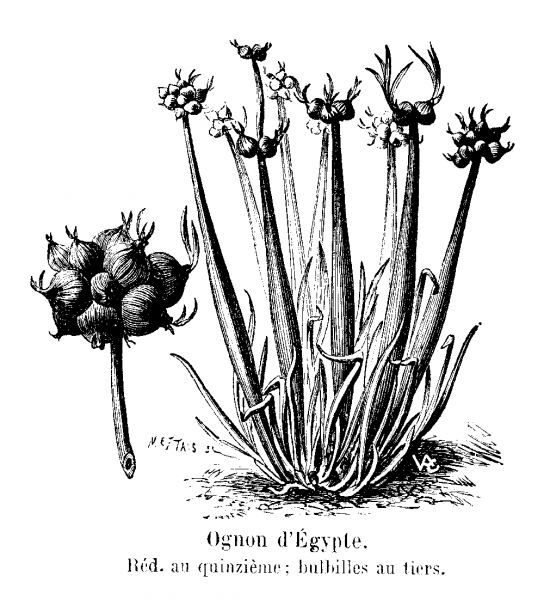 Многоярусный лук — выращивание, посадка, размножение и уход