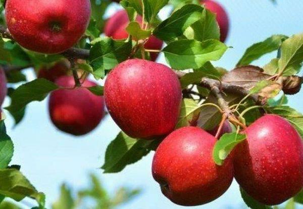 Описание и уход за яблоней сорта Красное раннее