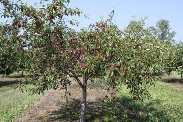 Описание и выращивание гибридного сорта вишни Встреча
