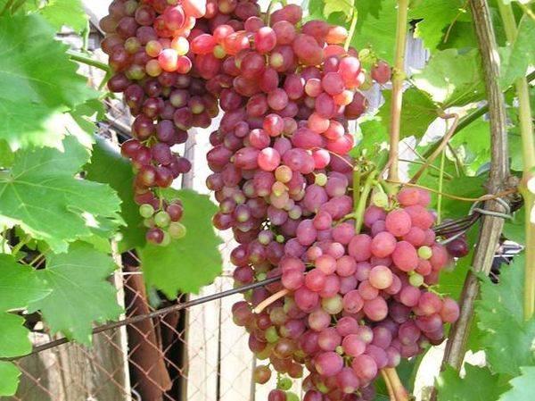 Описание ранне-среднего столового винограда кишмиш Лучистый