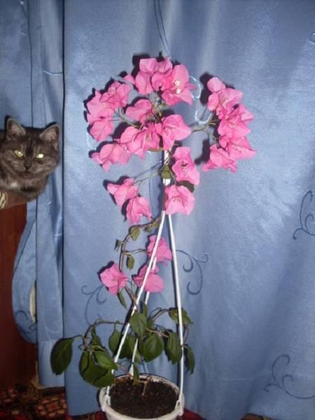 Особенности ухода за бугенвилией или почему у цветка опадают листья