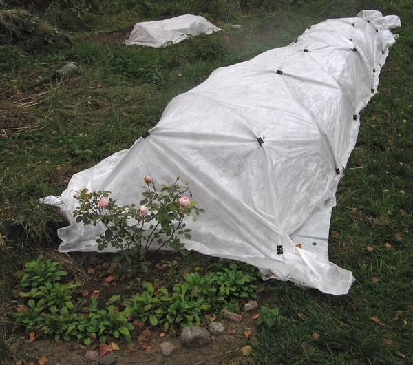 Особенности укрытия роз на зиму в средней полосе