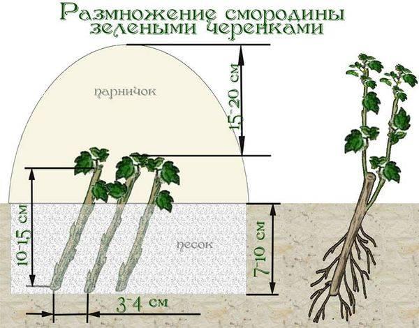 Особенности выращивания и ухода за сортами красной смородины