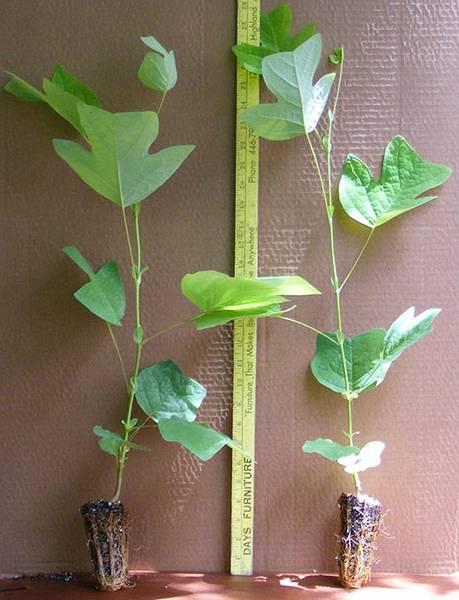 Особенности выращивания тюльпанового дерева дома