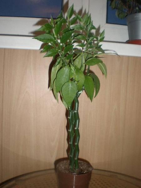 Педилантус в домашних условиях  всё о посадке, размножении, уходе за цветком