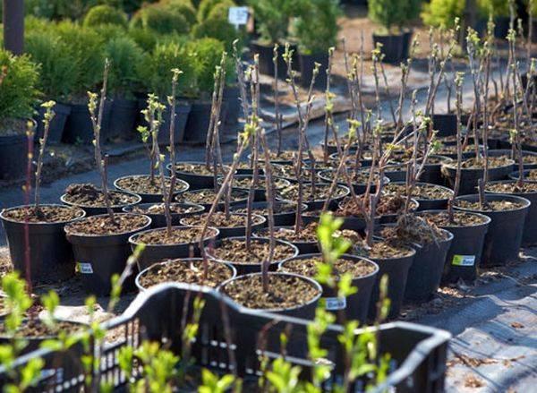 Популярная у российских садоводов смородина сорта Дачница