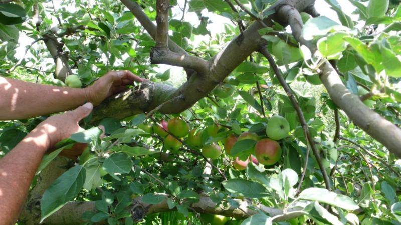 Прививка плодовых деревьев: пошаговая инструкция и сроки проведения