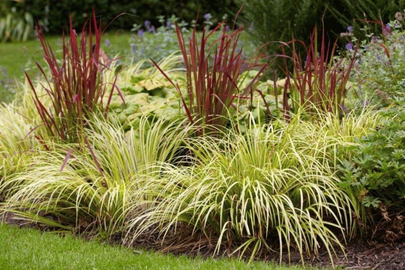 Растение аир — размножение, посадка и уход