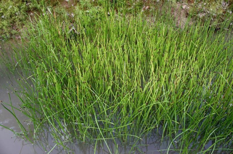 Растение болотница — размножение, посадка и уход