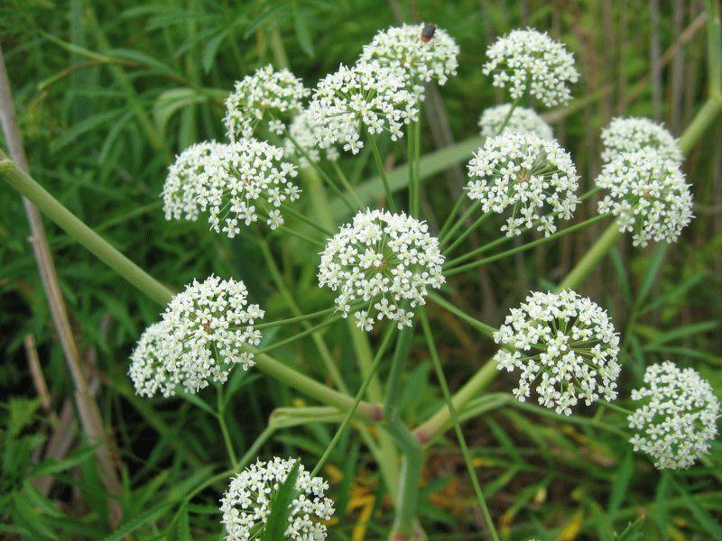 Растение вех – размножение, посадка и уход