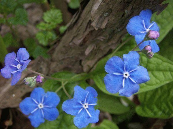Растение вероника – размножение, посадка и уход