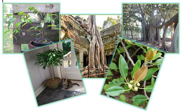 Размножение и выращивание фикусов в квартирных условиях