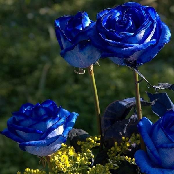 Разноцветные розы в вашем саду  от бело-розовых оттенков до зеленых, фиолетовых и черных роз