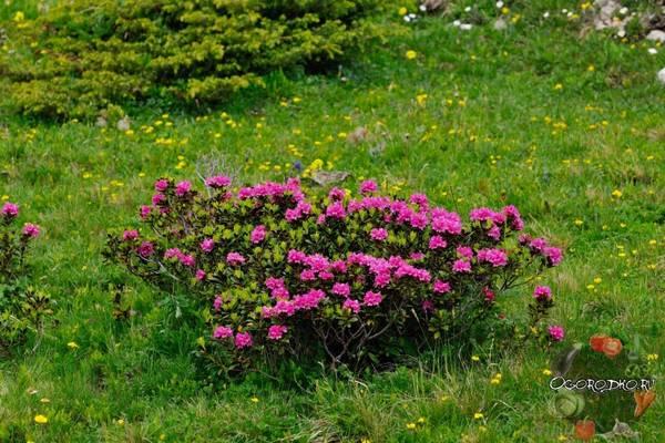 Рододендрон  посадка и уход в открытом грунте, зимостойкие сорта
