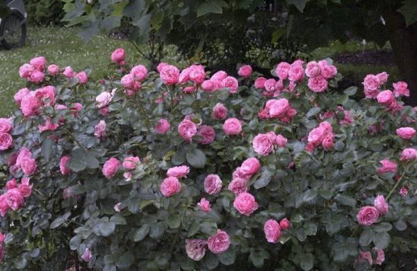 Роза Леонардо да Винчи: характеристика сорта