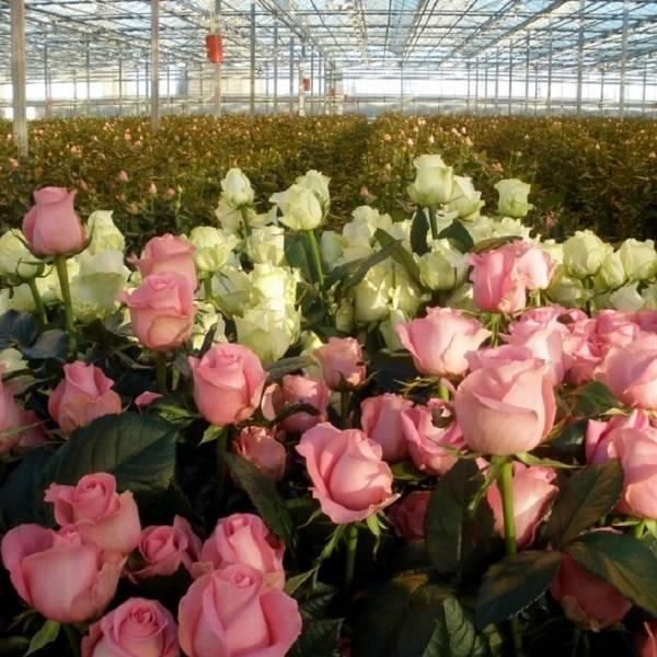 Розы на продажу  как выращивать розы, чтобы зарабатывать на них